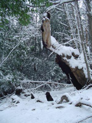 castano-gigante-pariero-de-la-gitana
