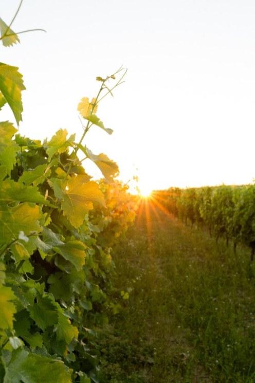 Vignes-en-Aquitaine