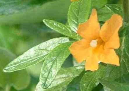 Diplacus aurantiacus Sierra monkey flower tolerates full sun, part sun,and deer.