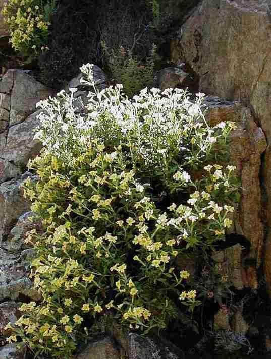 Diplacus calycinus tolerates full sun,and part sun.