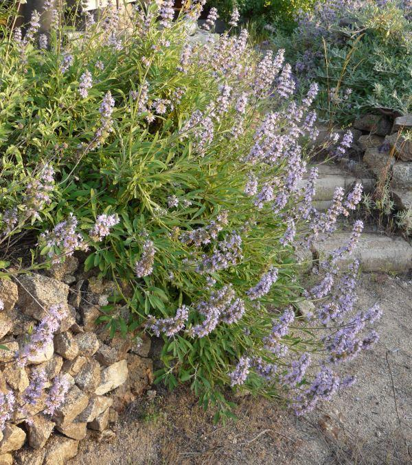 Salvia sonomensis Mrs Beard Mrs Beard Creeping Sage