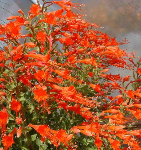 drought tolerant plants long