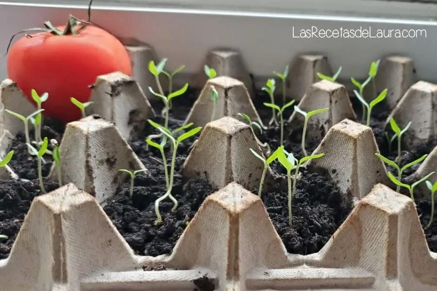 como sembrar tomates en casa
