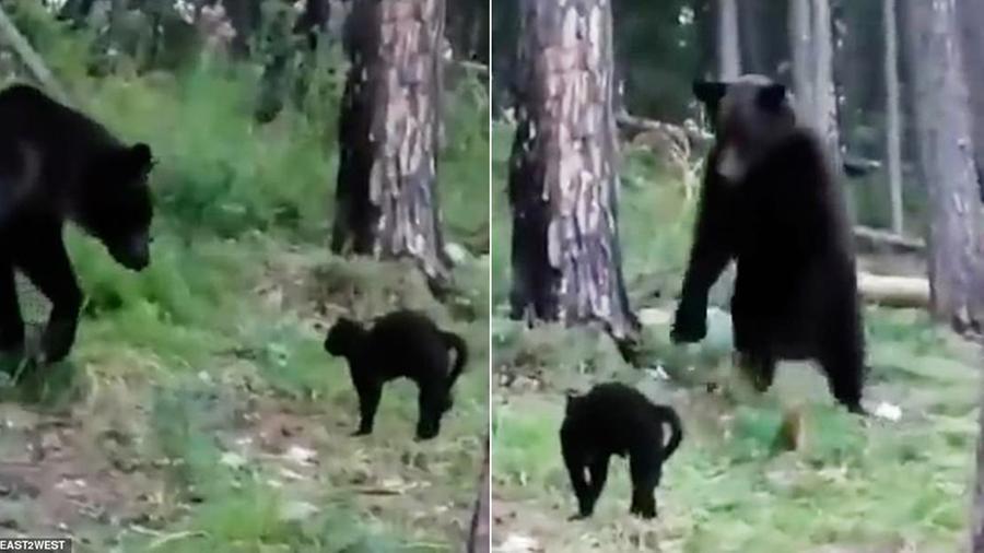 gatto orso