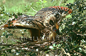 https://i0.wp.com/www.lastrefuge.co.uk/images/photo/hoatzin09c.jpg