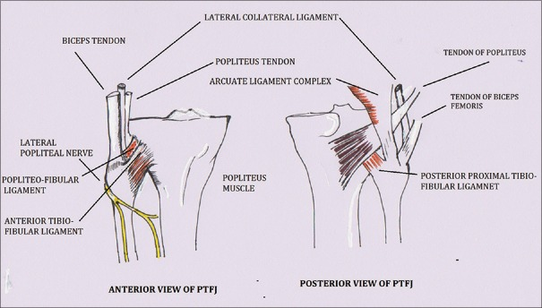 Proximal Tibiofibular Joint: a Forgotten Articulation