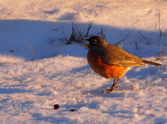 An American Robin signing in the snow