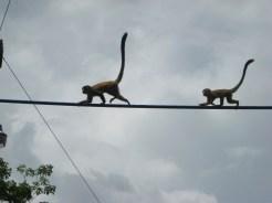 Monkeys crossing bridge good shot