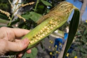Corn Advice Welcome!