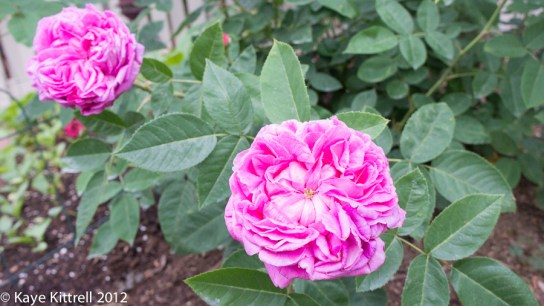 A Rose by What Name? - heirloom roses