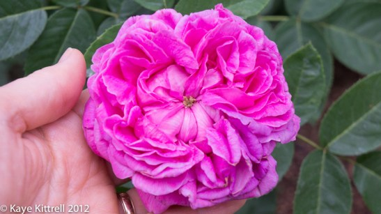 A Rose by What Name? - single heirloom rose