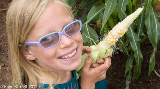 Nasty Aphids Attack Corn!-Brooke