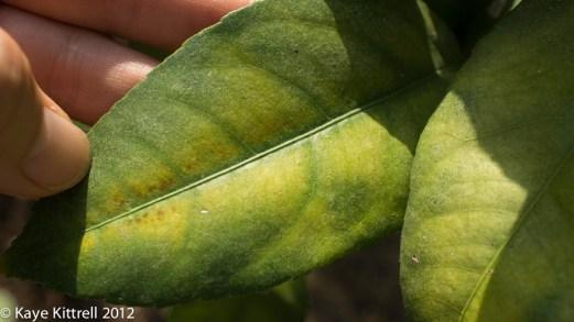 My Little Lemon Tree-yellow brown spots
