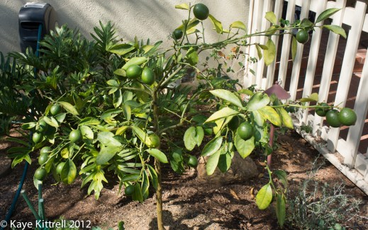 My Little Meyer Lemon Tree Update - pruned tree
