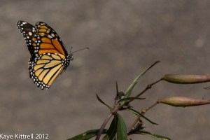 Monarch Sighting!