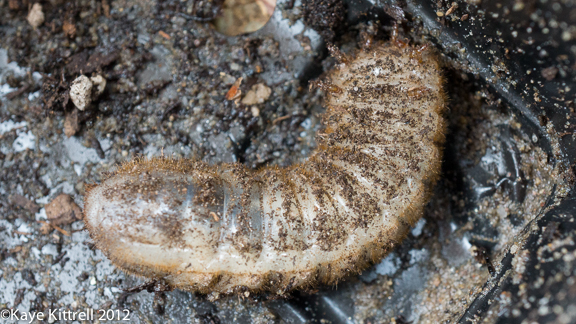 Fig Beetle Grub - covered in soil particles