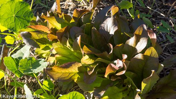 Winter Garden Lettuce