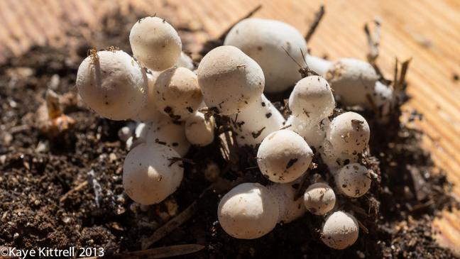 Small White Agaric Fungi by Kaye Kittrell