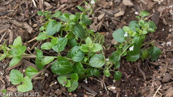 Satureja douglasii, Yerba buena, California native mint