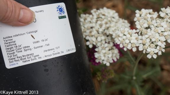 Achillea millefolium 'Calistoga' (white)