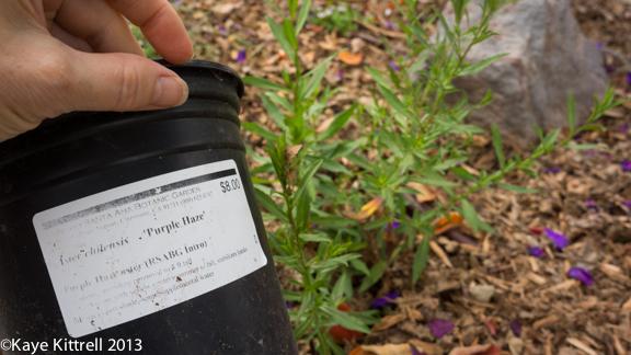 Aster chilensis 'Purple Haze' California Aster