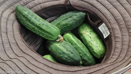 Late Bloomer Lesson #1, hatful of cukes