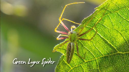 Late Bloomer-Summer Garden Update-Part 3-green lynx spider