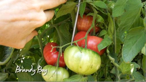 Late Bloomer-Summer Garden Update-Part 3-tomatoes