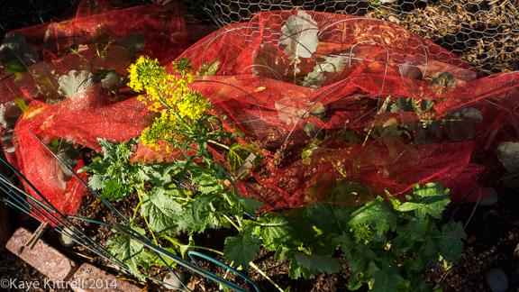 Screening Winter Greens-flowering