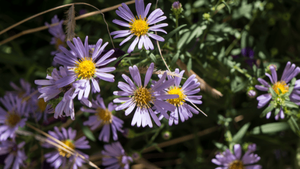 Grow a Native Meadow in Your Yard - Aster