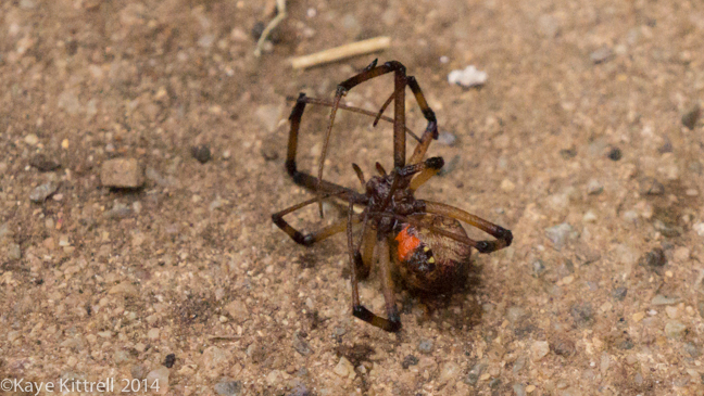 Brown Widow Spiders for Breakfast?spider#3