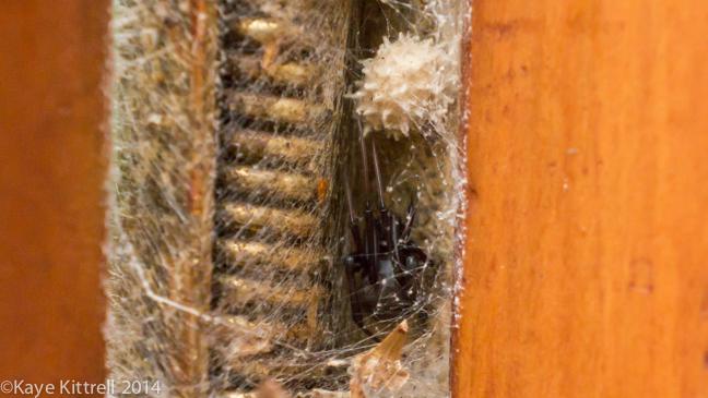 Brown Widows for Breakfast?-spider1