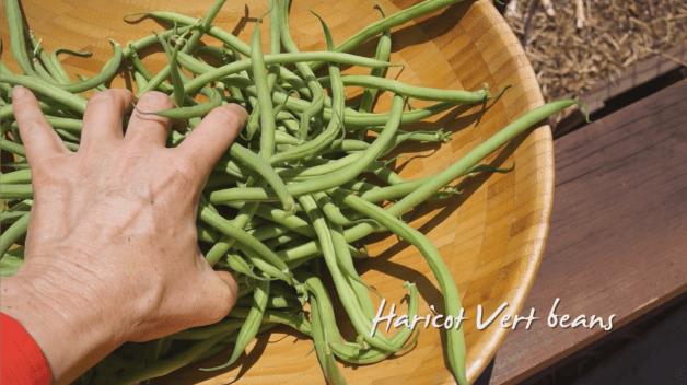 Summer Garden Update - Haricot Vert Beans