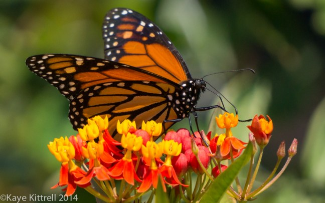 Morning Impressions with Monarchs - Monarch butterfly