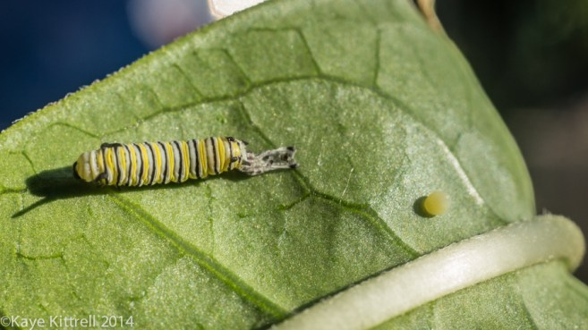 Morning Impressions with Monarchs - Monarch egg
