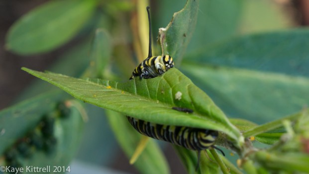 Morning Impressions with Monarchs - Monarch caterpillar eating