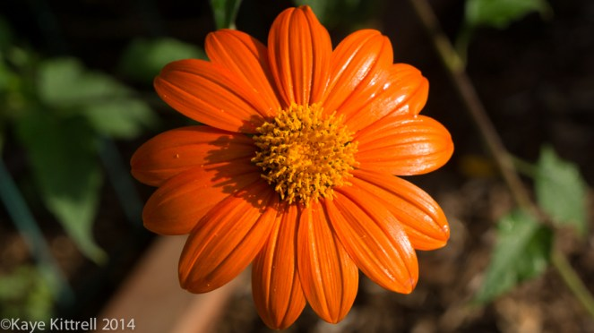 Morning Impressions with Monarchs - Mexican sunflower