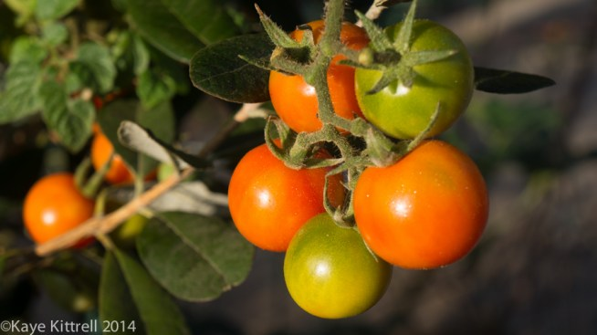 Morning Impressions with Monarchs - tomatoes
