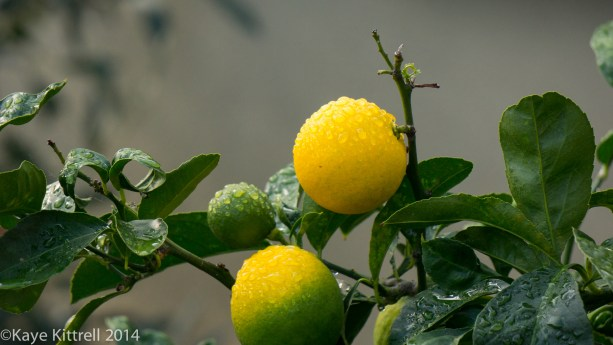 Loveliness after the rain & More on our Water Woes - Meyer lemons