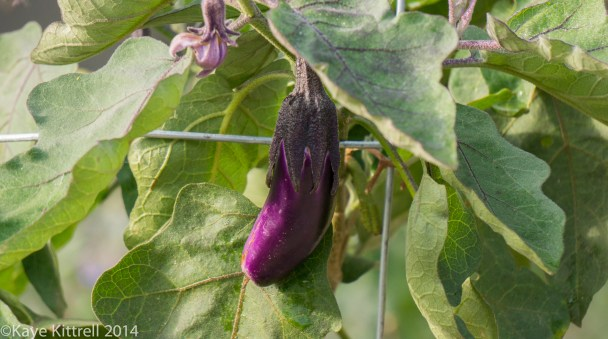 Loveliness after the rain & More on our Water Woes - Eggplant
