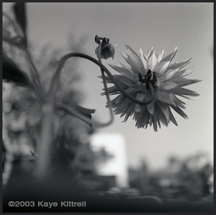 Tribute to an Allotment and a Father - Dahlia
