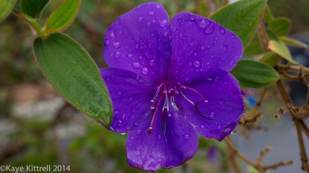 December Blooms in Southern California  - Princess Flower