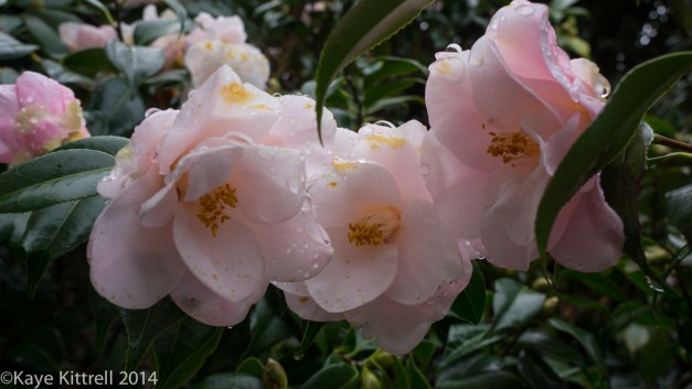December Blooms in Southern California - pale pink camellias