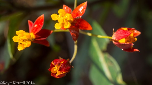 December Blooms in Southern California - tropical milkweed