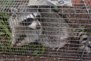 The Connection Between June Bugs & Raccoons