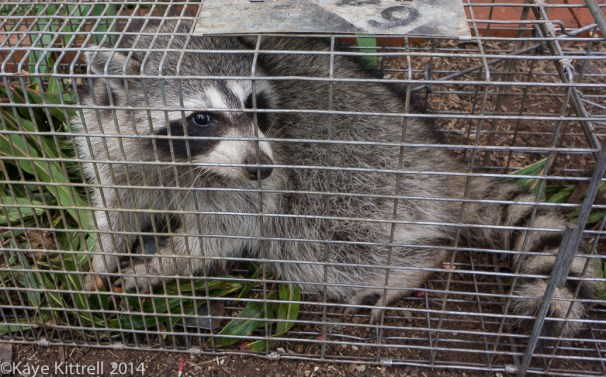 The connection between June bugs & raccoons - raccoon in cage