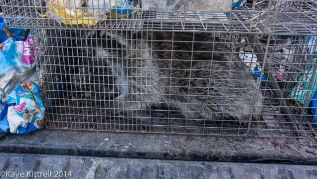 Learning about raccoons - 30 pound raccoon