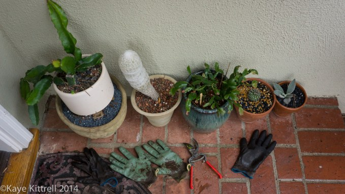 Make the most of the rain event, plant! - cacti under shelter
