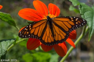 Grow Mexican Sunflowers and Attract Monarchs