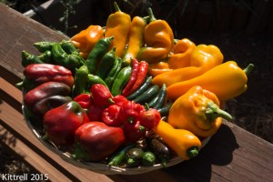 Growing Peppers – Part 1: Sowing, Potting, Pests, Harvest